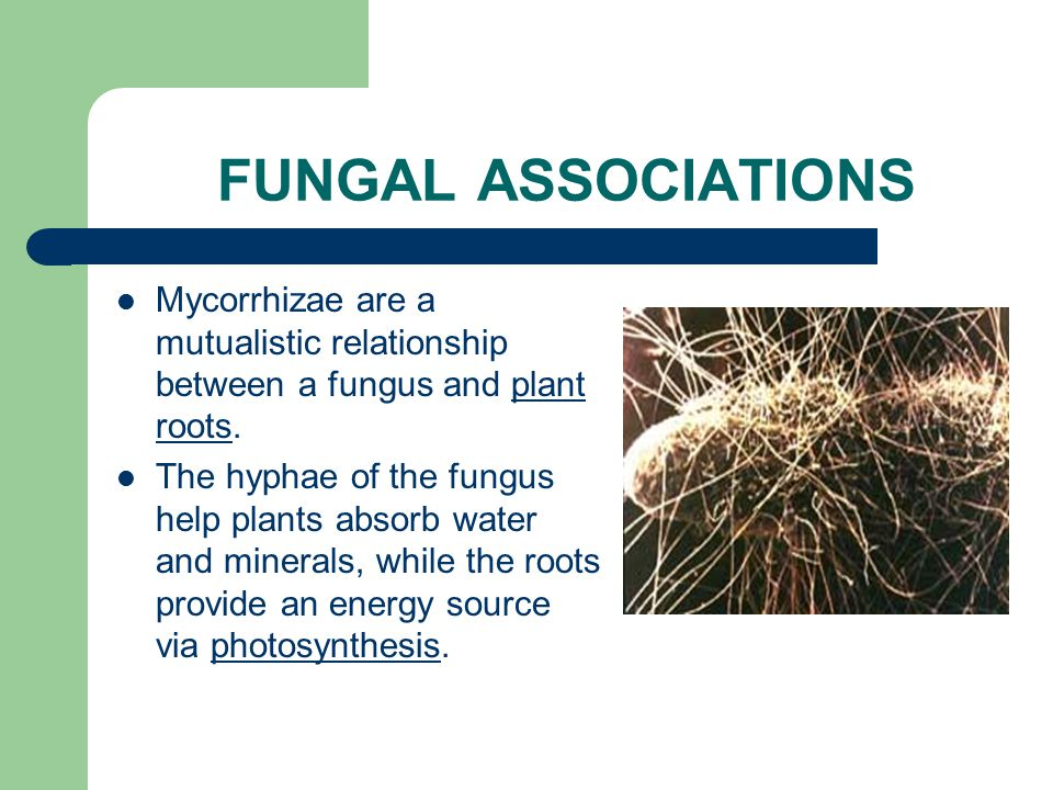 FUNGAL ASSOCIATIONS Mycorrhizae are a mutualistic relationship between a fungus and plant roots.