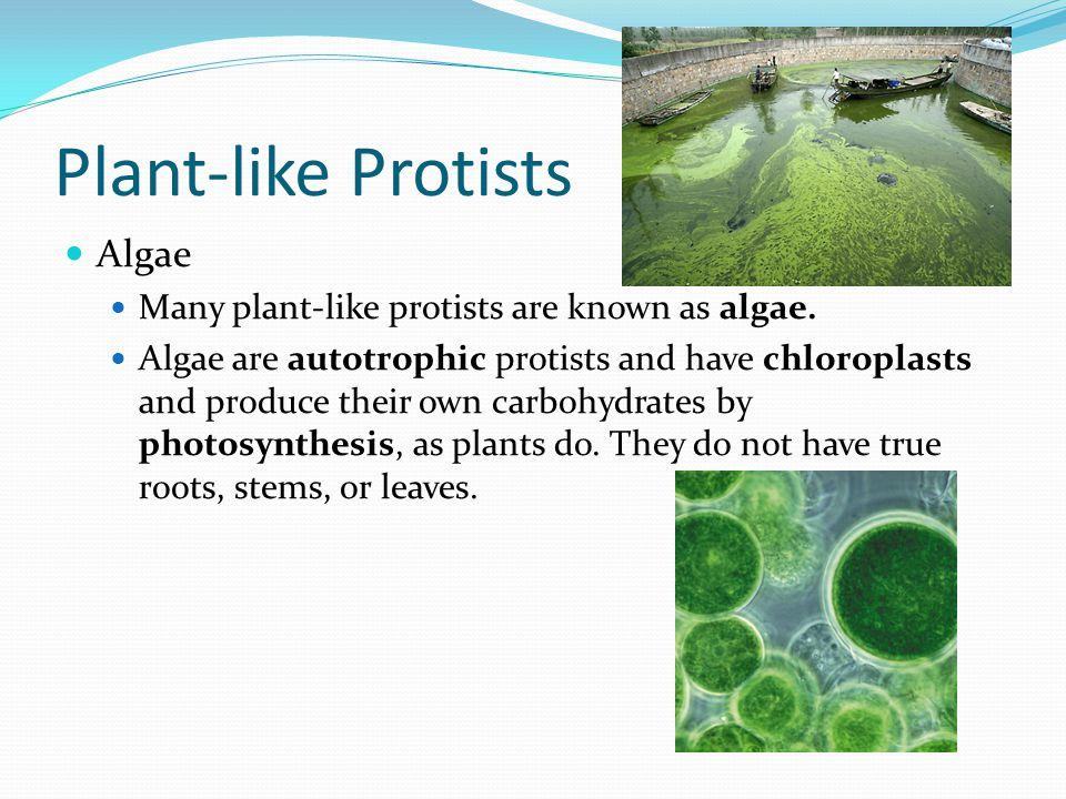 Plant-like Protists Algae Many plant-like protists are known as algae.