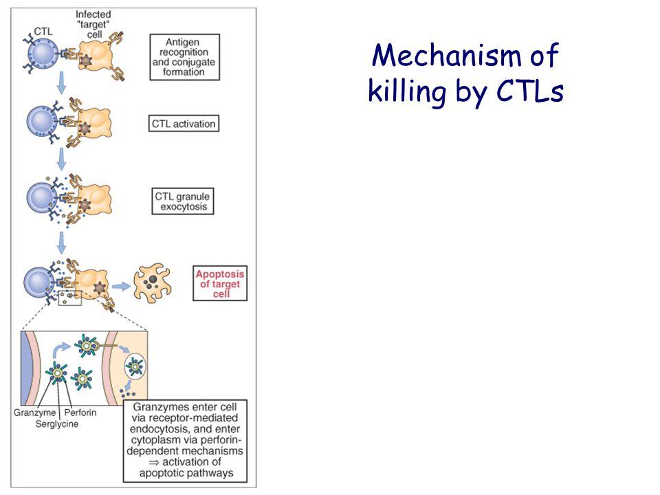 Mechanism of killing by CTLs