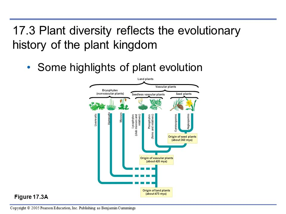17.3 Plant diversity reflects the evolutionary history of the plant kingdom