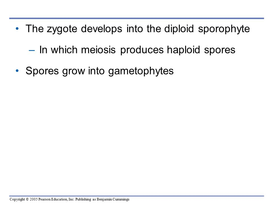 The zygote develops into the diploid sporophyte