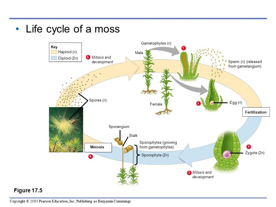 Life cycle of a moss Figure 17.5 Gametophytes (n) Key Haploid (n) Male