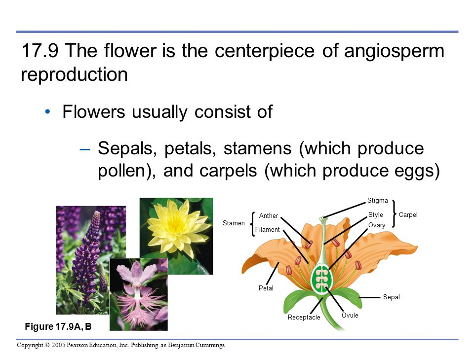 17.9 The flower is the centerpiece of angiosperm reproduction