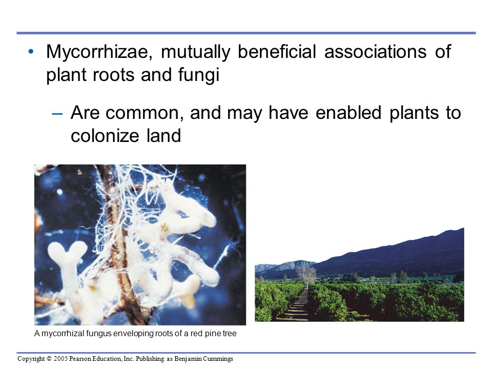 Mycorrhizae, mutually beneficial associations of plant roots and fungi