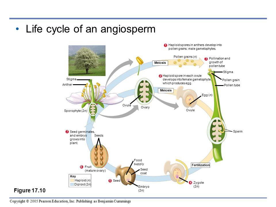 Life cycle of an angiosperm