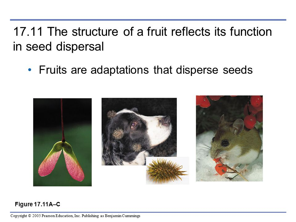 17.11 The structure of a fruit reflects its function in seed dispersal