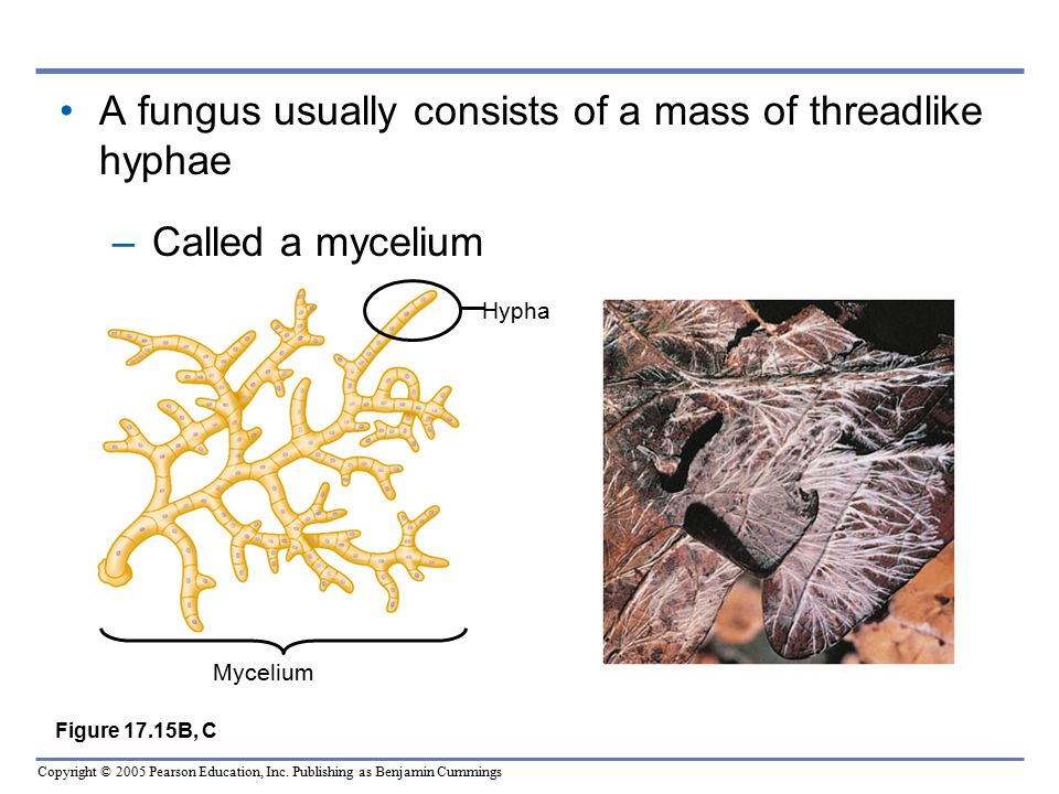A fungus usually consists of a mass of threadlike hyphae