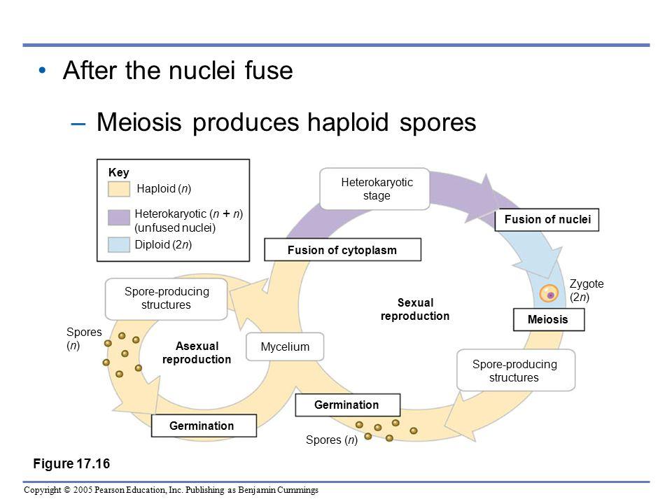 Meiosis produces haploid spores