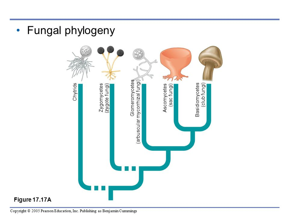 Fungal phylogeny Figure 17.17A Chytrids Zygomycetes (zygote fungi)