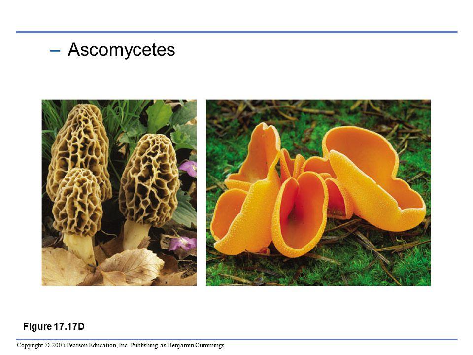 Ascomycetes Figure 17.17D