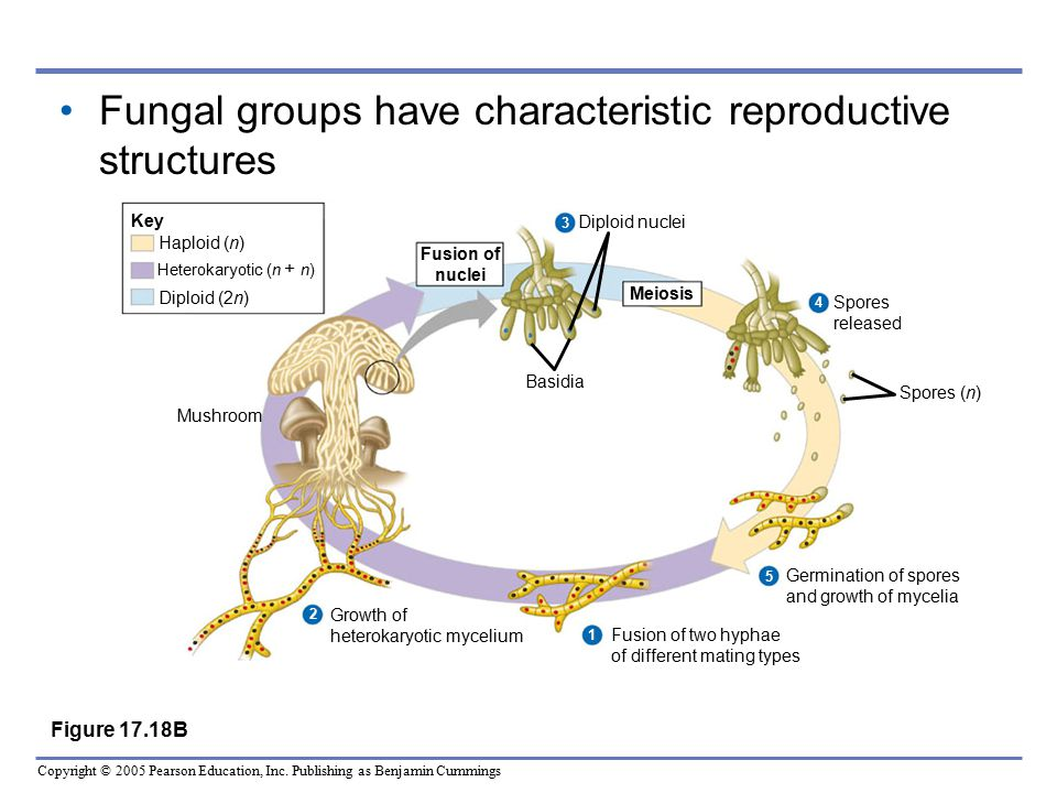 Fungal groups have characteristic reproductive structures