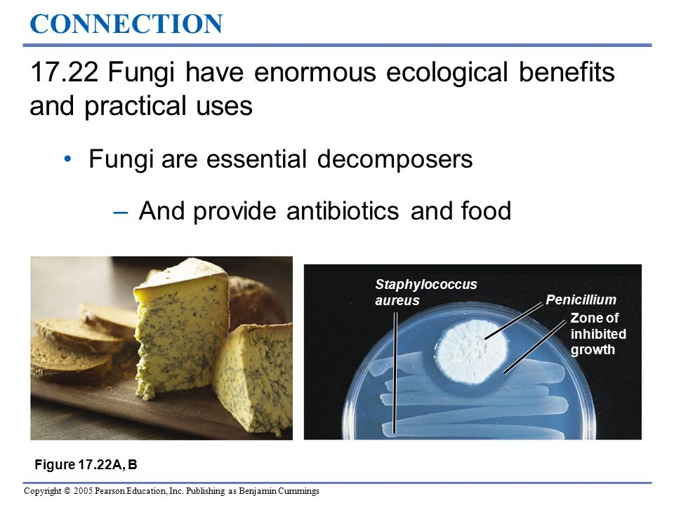 17.22 Fungi have enormous ecological benefits and practical uses