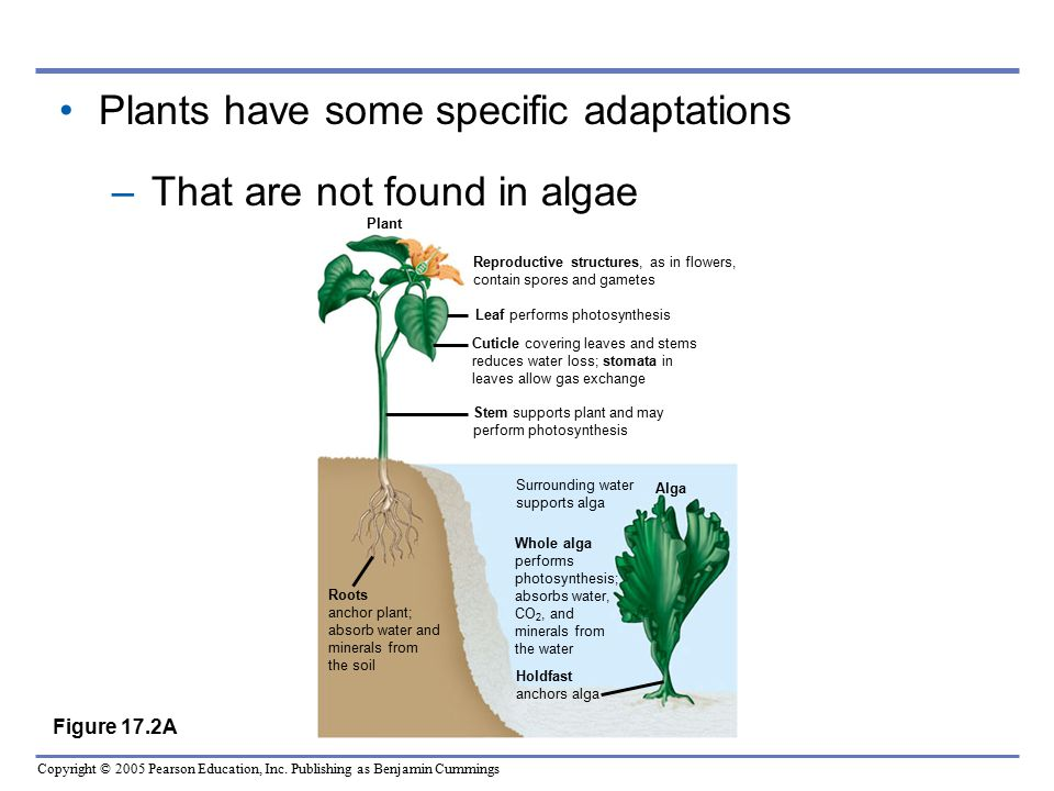 Plants have some specific adaptations That are not found in algae