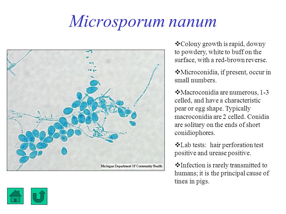 Microsporum nanum Colony growth is rapid, downy to powdery, white to buff on the surface, with a red-brown reverse.