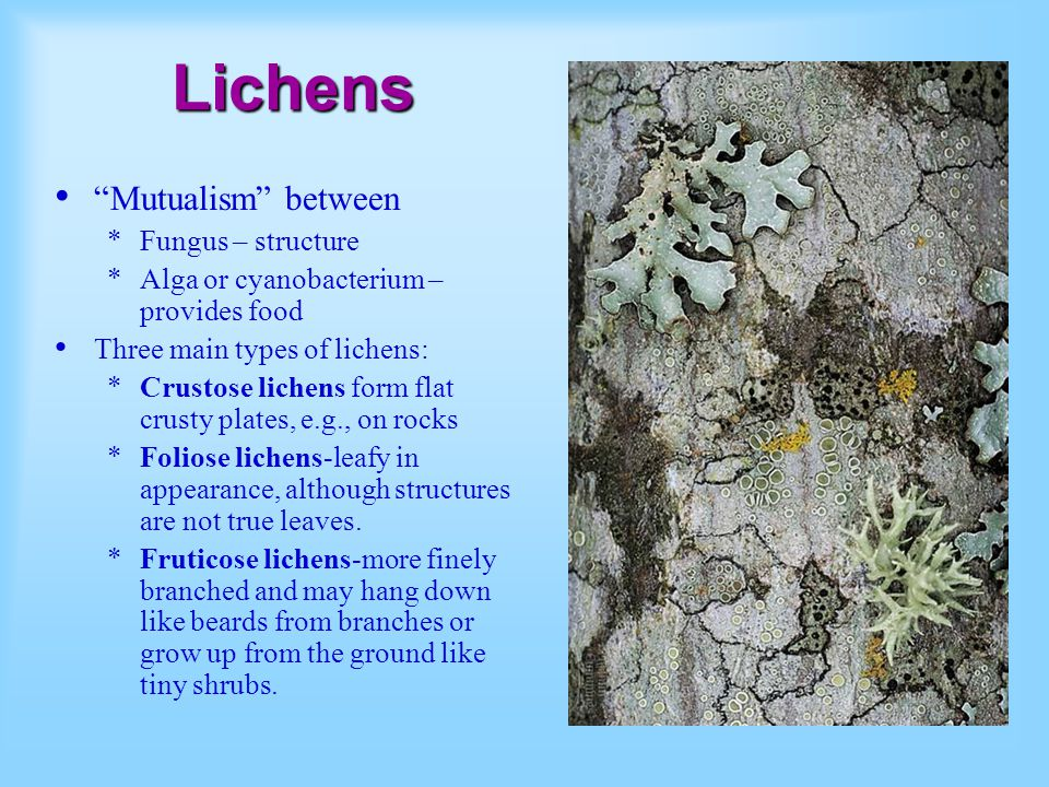Lichens Mutualism between Fungus – structure