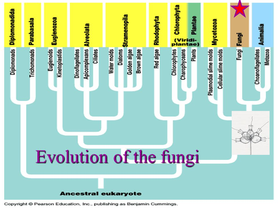 Molecular studies indicate that animals, not plants, are the closest relatives of fungi.