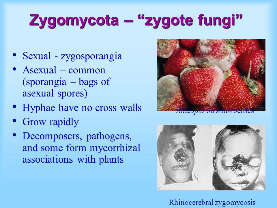 Zygomycota – zygote fungi