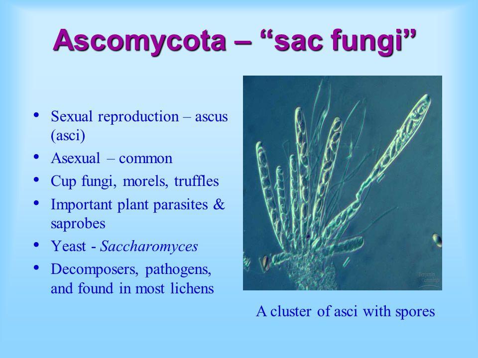 Ascomycota – sac fungi