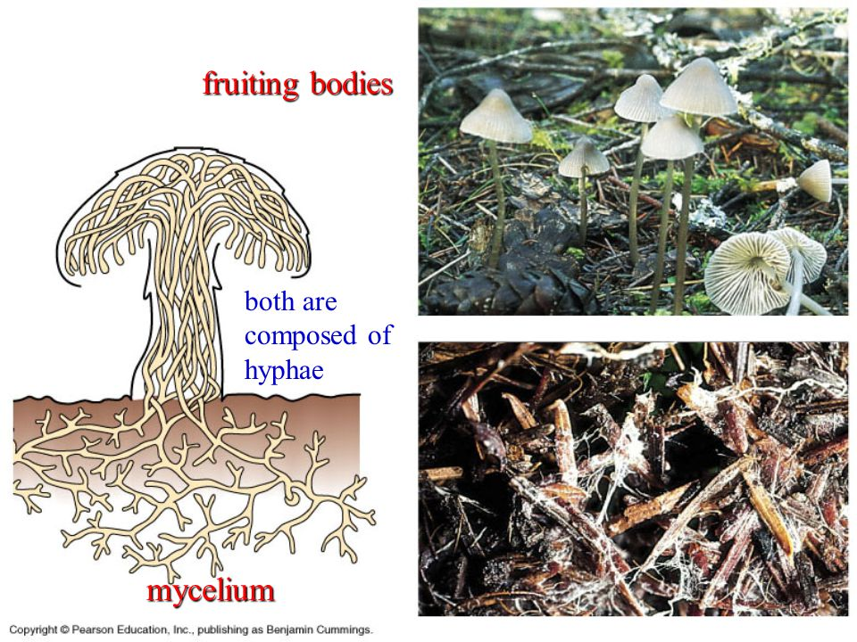 fruiting bodies both are composed of hyphae mycelium