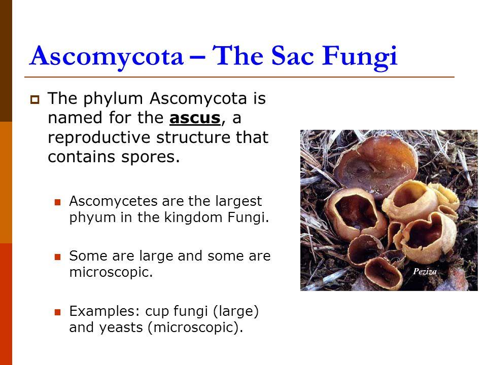 Ascomycota – The Sac Fungi