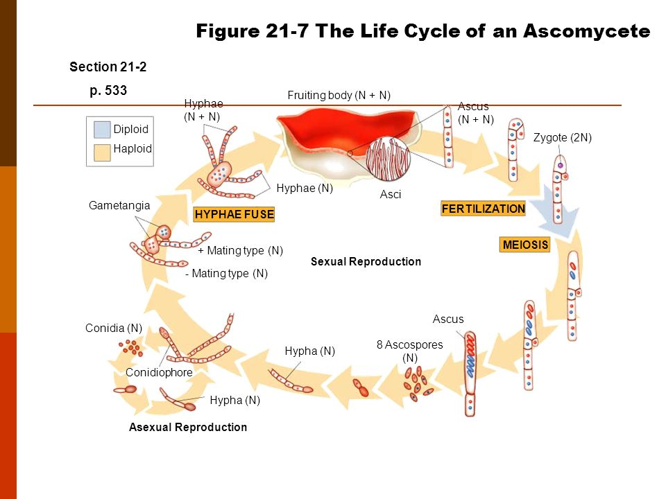 Figure 21-7 The Life Cycle of an Ascomycete