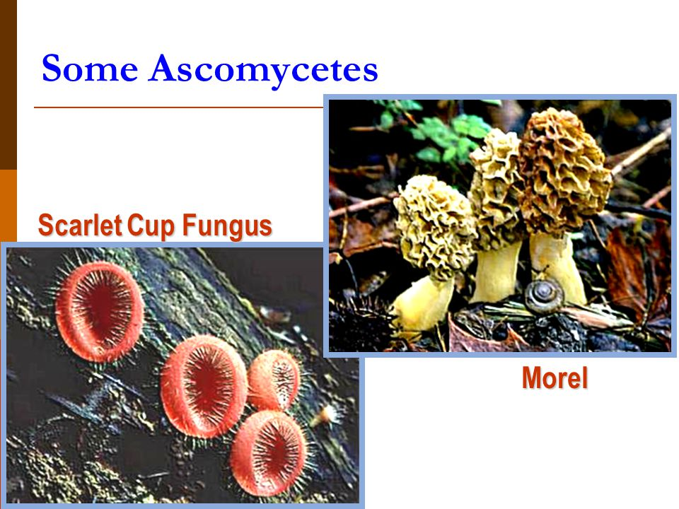 Some Ascomycetes Scarlet Cup Fungus Morel
