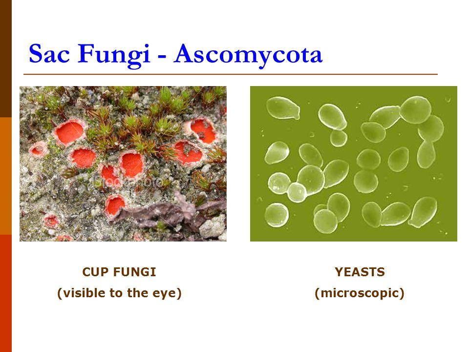 Sac Fungi - Ascomycota CUP FUNGI (visible to the eye) YEASTS