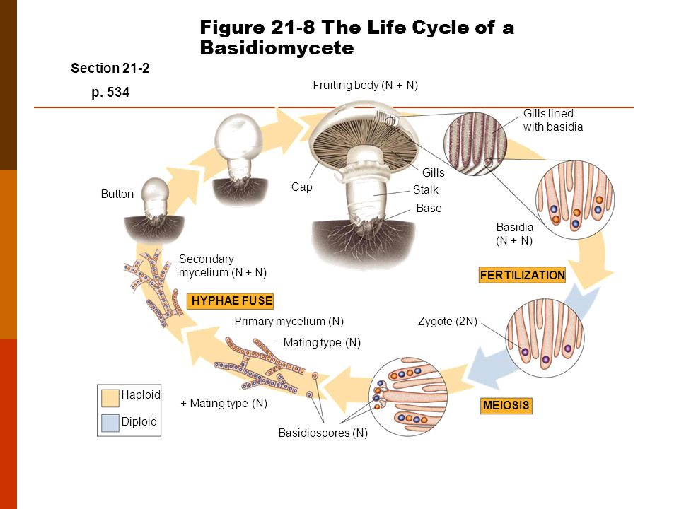 Figure 21-8 The Life Cycle of a Basidiomycete