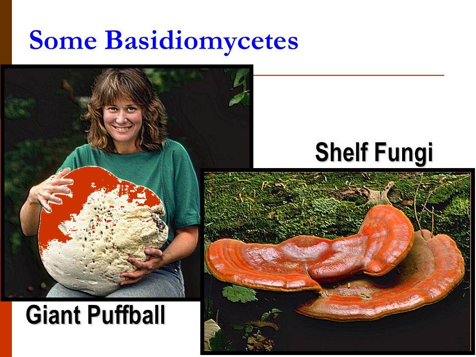 Some Basidiomycetes Shelf Fungi Giant Puffball