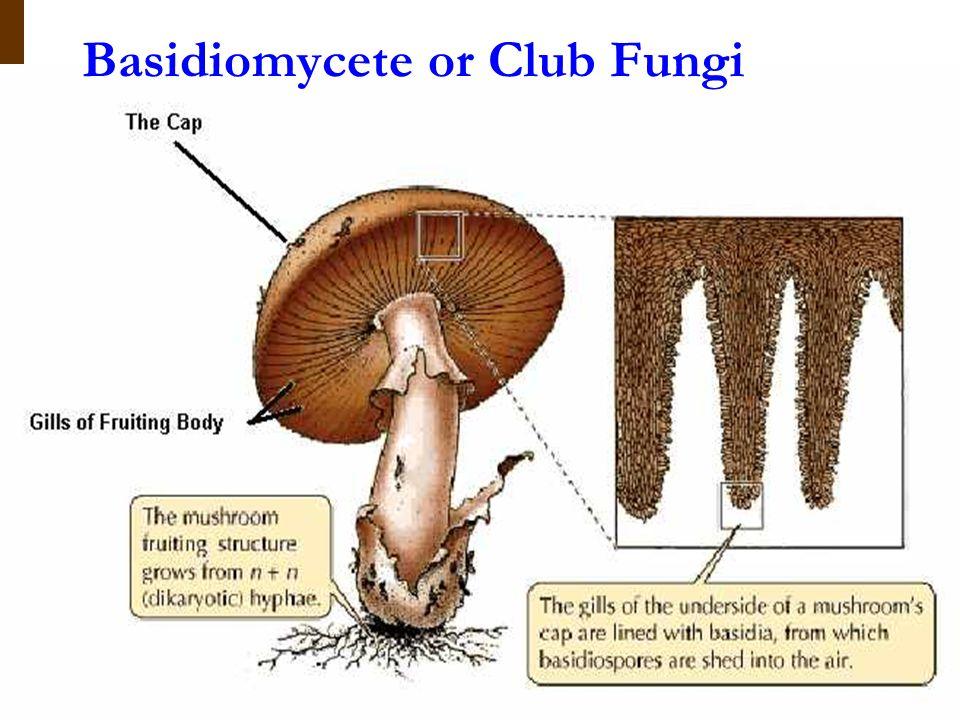 Basidiomycete or Club Fungi