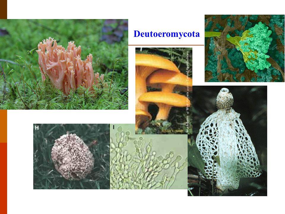 Deutoeromycota