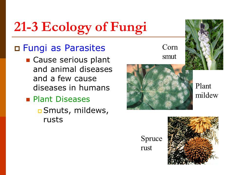 21-3 Ecology of Fungi Fungi as Parasites Corn smut