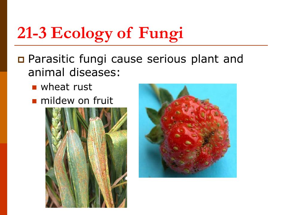 21-3 Ecology of Fungi Parasitic fungi cause serious plant and animal diseases: wheat rust.