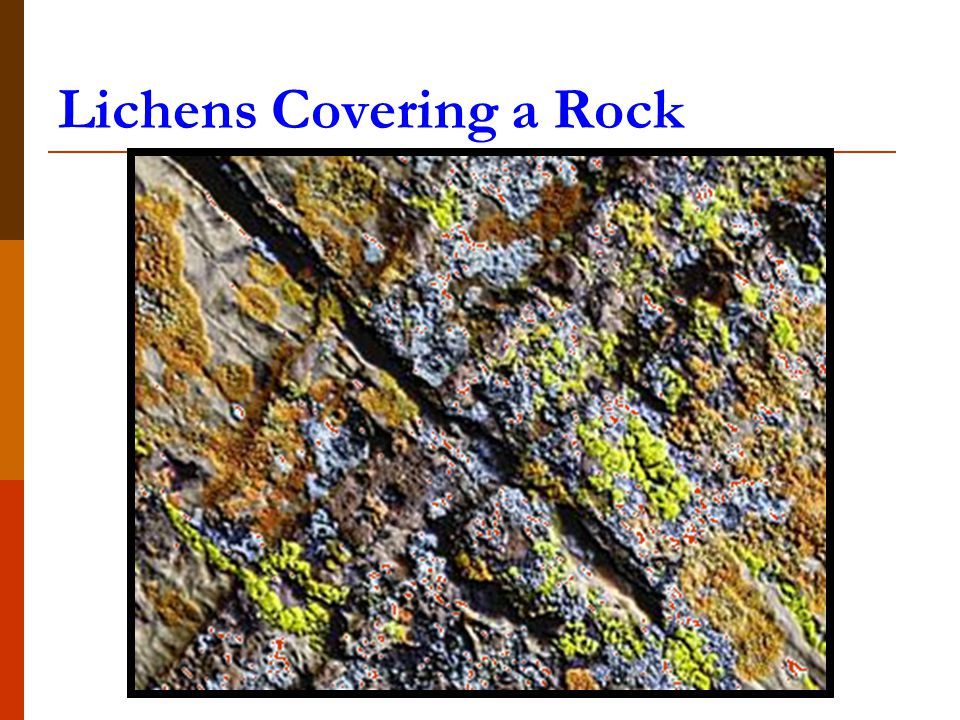 Lichens Covering a Rock