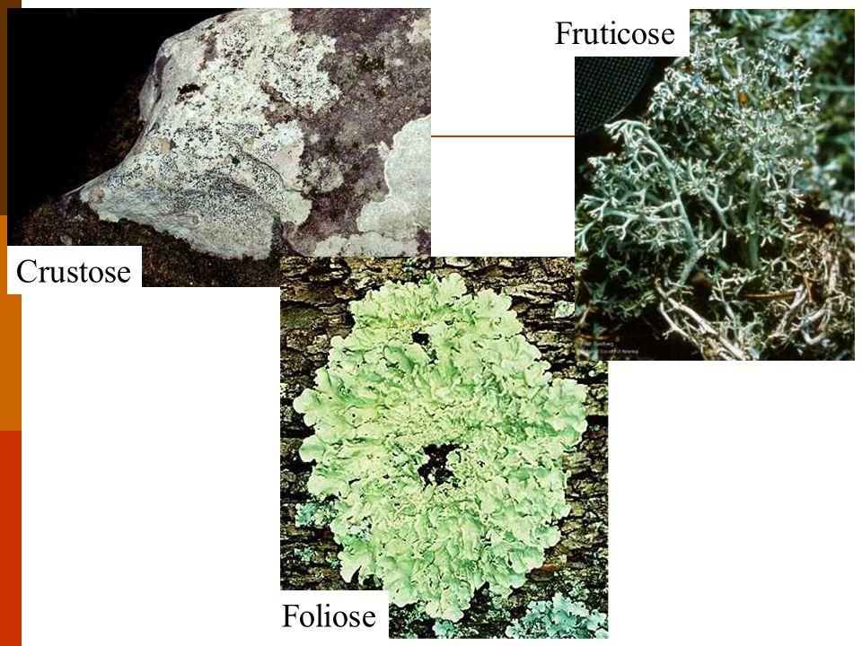 Fruticose Crustose Foliose