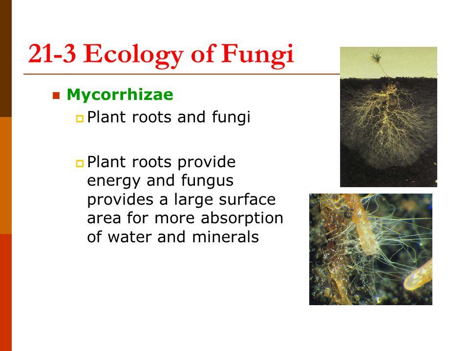 21-3 Ecology of Fungi Mycorrhizae Plant roots and fungi