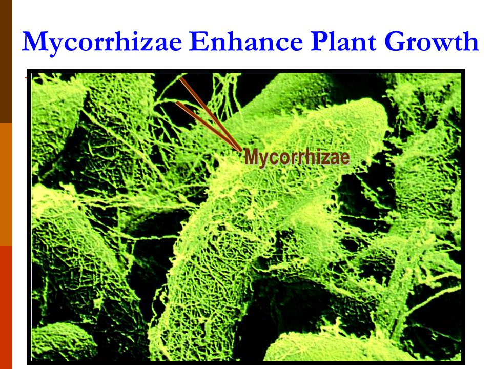 Mycorrhizae Enhance Plant Growth