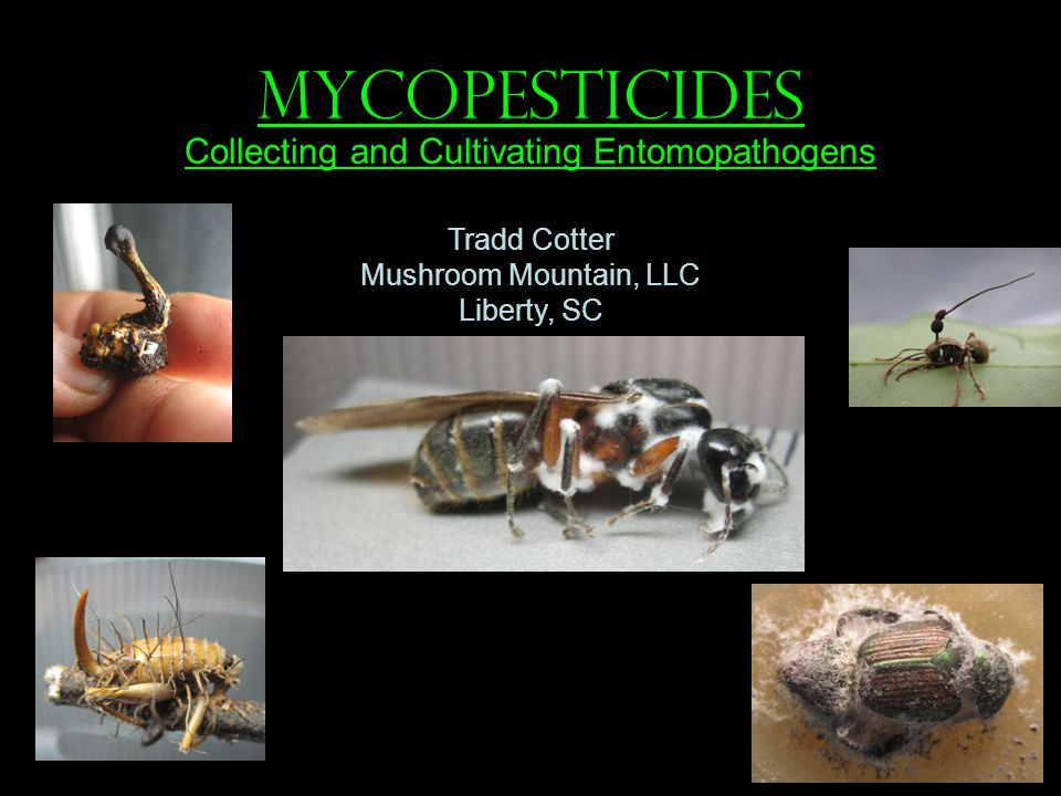 MYCOPESTICIDES Collecting and Cultivating Entomopathogens