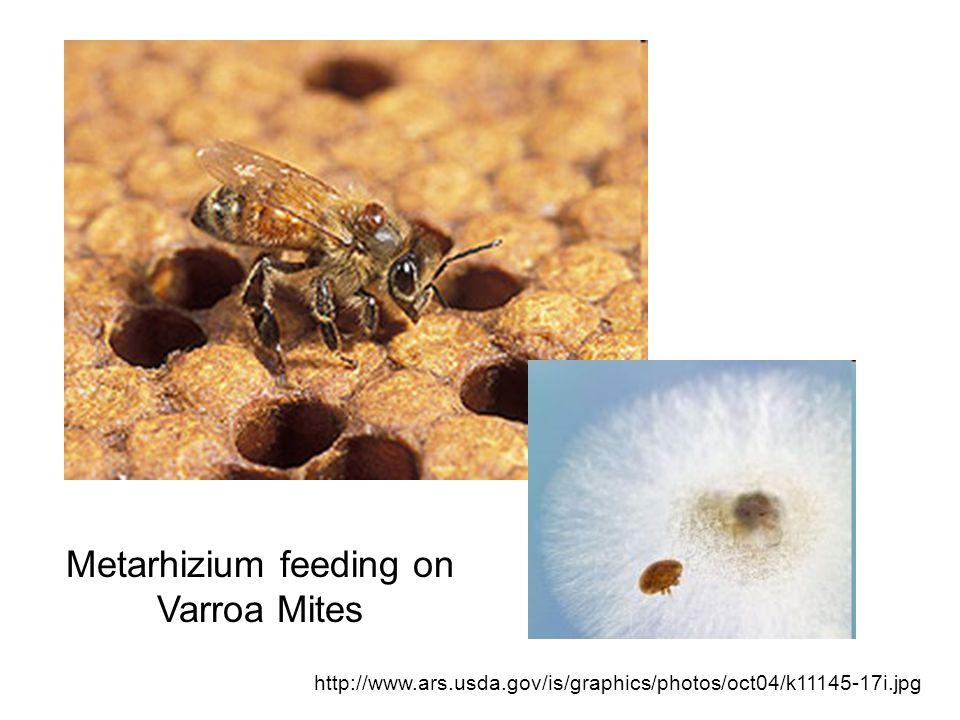 Metarhizium feeding on Varroa Mites