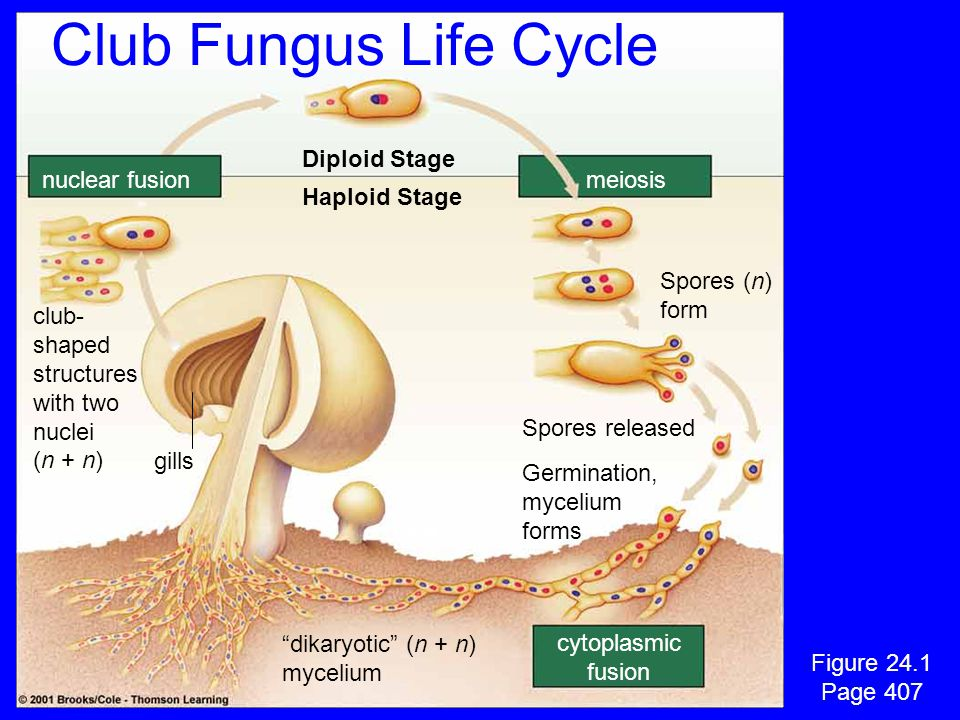 Club Fungus Life Cycle Diploid Stage nuclear fusion meiosis