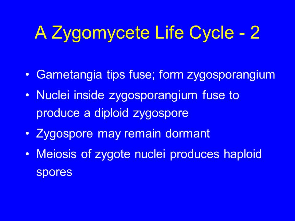 A Zygomycete Life Cycle - 2
