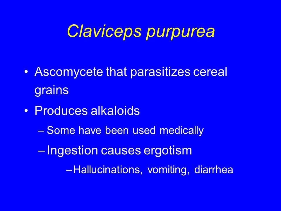 Claviceps purpurea Ascomycete that parasitizes cereal grains