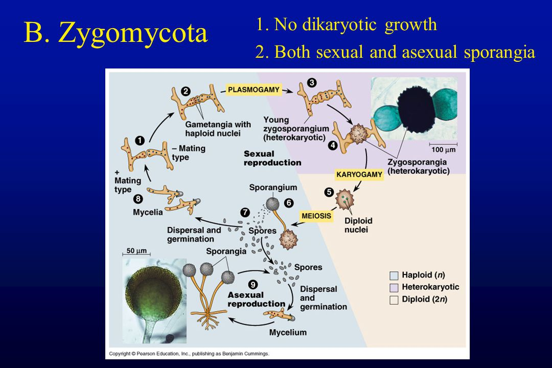 B. Zygomycota 1. No dikaryotic growth
