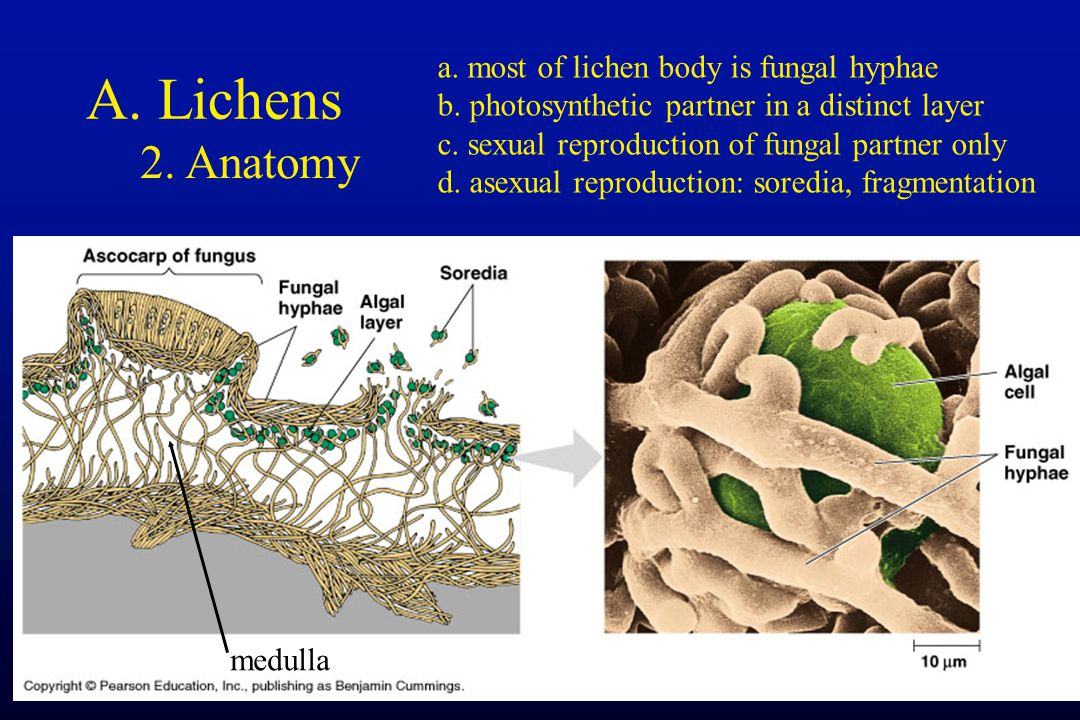 A. Lichens 2. Anatomy a. most of lichen body is fungal hyphae