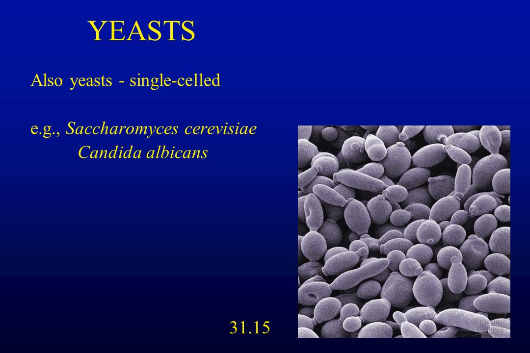 YEASTS Also yeasts - single-celled e.g., Saccharomyces cerevisiae