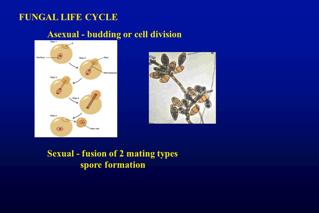 FUNGAL LIFE CYCLE Asexual - budding or cell division.