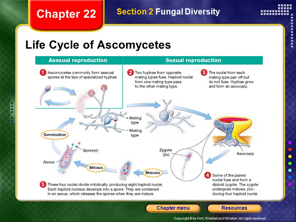 Life Cycle of Ascomycetes