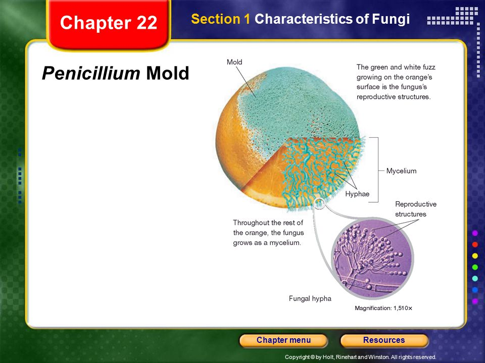 Chapter 22 Section 1 Characteristics of Fungi Penicillium Mold