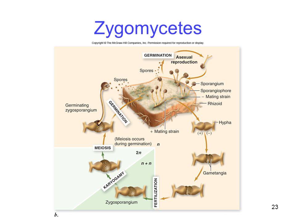 Zygomycetes