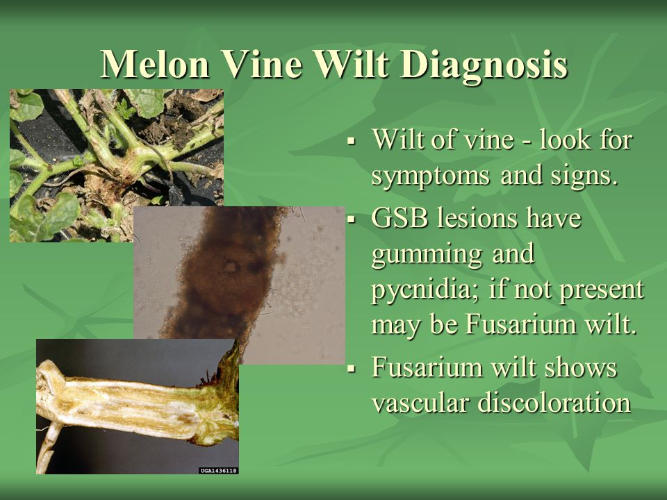 Melon Vine Wilt Diagnosis